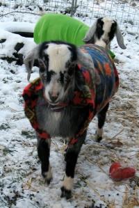 Goats in polarfleece jackets