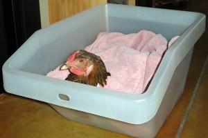 Chicken hospital